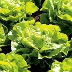 Sałata Saba - do uprawy całorocznej - 900 nasion