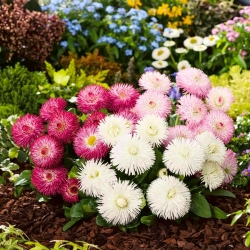 Stokrotka wielkokwiatowa - mieszanka - 600 nasion