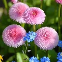Stokrotka różowa + niezapominajka - zestaw 2 gatunków nasion