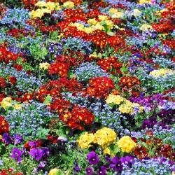 Pierwiosnek, niezapominajka i bratki - zestaw 6 odmian nasion kwiatów