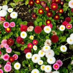 Stokrotka pomponette różowa, czerwona i biała - zestaw 3 odmian nasion