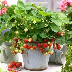 Truskawka wczesna o dużych owocach - Honeoye - 100 szt.