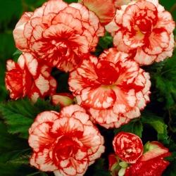 Begonia czerwono-biała - Marmorata - 2 bulwy