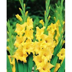 Gladiolus - Mieczyk Nova Lux - 5 cebulek