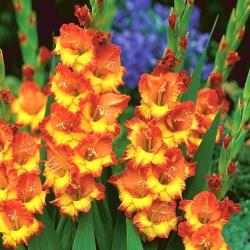 Gladiolus - Mieczyk Sunshine - 5 cebulek