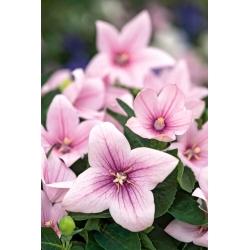 Platykodon, Rozwar wielkokwiatowy - Fuji Pink