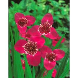 Tigridia - Tygrysówka różowa Pink - 10 cebulek