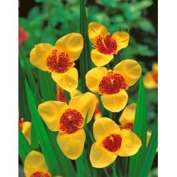 Tigridia - Tygrysówka żółta Yellow - 10 cebulek
