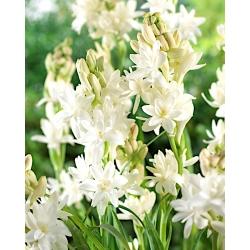 Tuberoza wonna - Polianthes tuberosa - 2 cebule