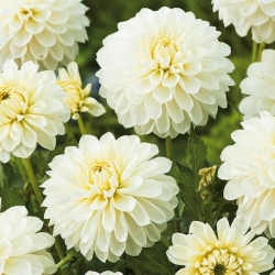 Dalia biała - Dahlia White