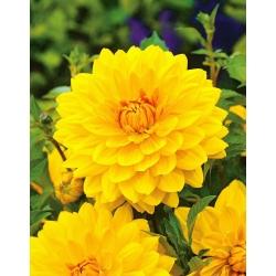 Dalia żółta - Dahlia Yellow