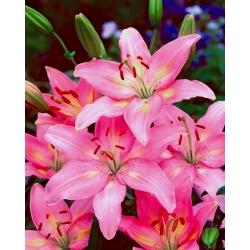 Lilia azjatycka różowa - Pink - 1 cebula