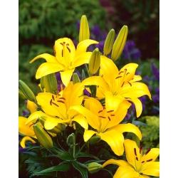 Lilia azjatycka żółta - Yellow - 1 cebula