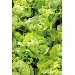 Sałata Nawojka - głowiasta, masłowa, do uprawy wiosennej