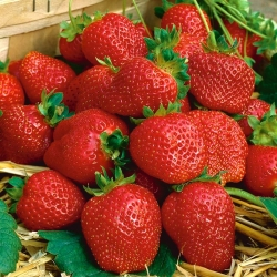 Truskawka Elegance - o dużych i trwałych owocach - 100 sadzonek XL