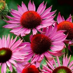 Jeżówka purpurowa o dużych kwiatach - Ruby Giant - 1 szt.