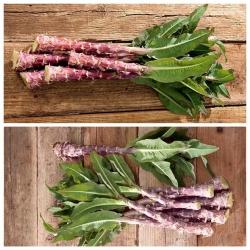 Sałata łodygowa - zestaw 2 odmian nasion warzyw