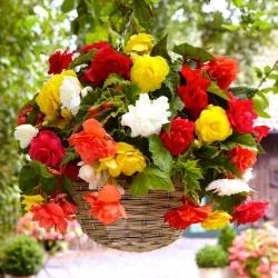 Begonia zwisająca, kaskadowa - kolorowy mix - 2 bulwy