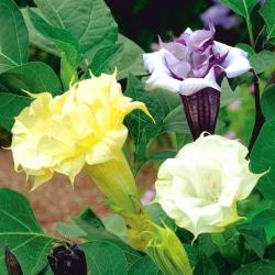 Bieluń surmikwiat o kwiatach pełnych - 14 nasion