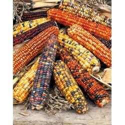 Kukurydza ozdobna