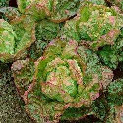 Sałata Carmina - głowiasta, krucha, czerwono-zielona