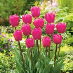 Tulipan różowy Rose - 50 cebulek - paczka XXL!