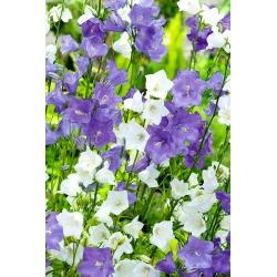 Dzwonek brzoskwiniolistny - 4200 nasion