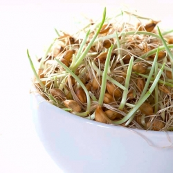 Nasiona na kiełki - Młody jęczmień