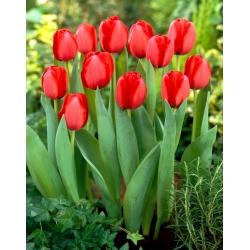 Tulipan Red Impression - 5 szt.