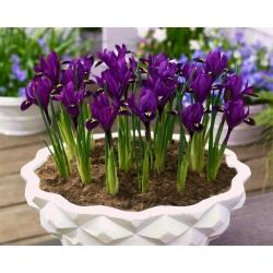 Irys botaniczny - Purple Hill - 10 cebulek