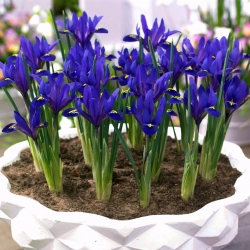 Irys botaniczny - Blue Hill - 10 cebulek