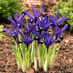 Irys botaniczny - Blue Note - duża paczka! - 100 szt.