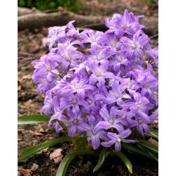 Śnieżnik lśniący fioletowy - Chionodoxa Violet Beauty - duża paczka! - 100 szt.