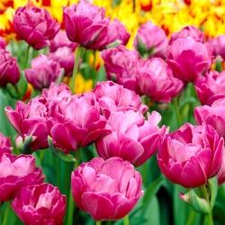 Tulipan Abigail - 5 cebulek