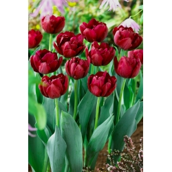 Tulipan Antraciet - 5 cebulek