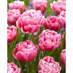 Tulipan Aveyron - 5 cebulek