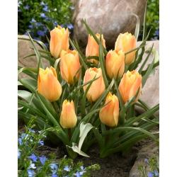 Tulipan Batalinii Bright Gem - 5 cebulek