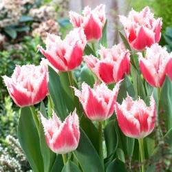 Tulipan Bell Song - 5 cebulek