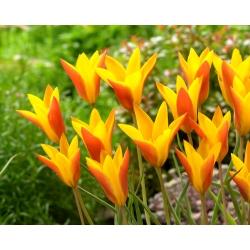Tulipan Chrysantha Tubergen's Gem - 5 cebulek