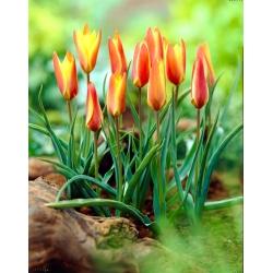 Tulipan Clusiana Sheila - 5 cebulek