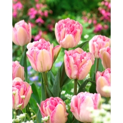 Tulipan Foxtrot - 5 cebulek