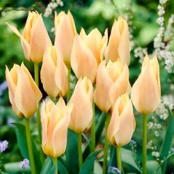 Tulipan Für Elise - 5 cebulek