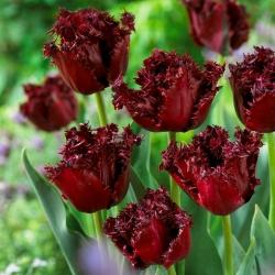 Tulipan Labrador - 5 cebulek