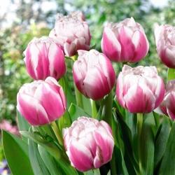 Tulipan Melrose - 5 cebulek