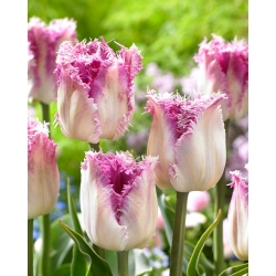 Tulipan Oviedo - 5 cebulek
