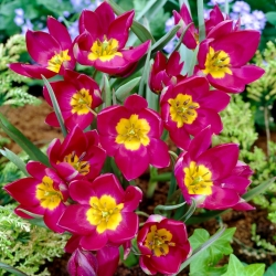 Tulipan Pulchella Odalisque - 5 cebulek