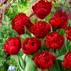 Tulipan Red Baby Doll - 5 cebulek