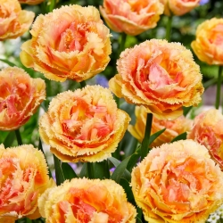 Tulipan Vaya Con Dios - 5 cebulek