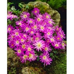 Zawilec grecki - Violet Star - 8 bulw