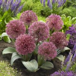 Czosnek Nevskianum - Allium nevskianum - duża paczka! - 10 szt.